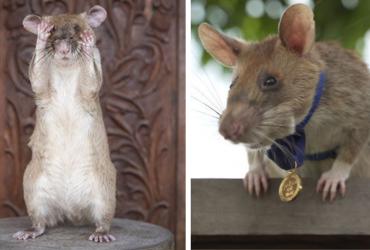 Rato africano se aposenta após desarmar mais de 70 minas terrestres