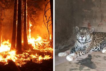 Depois de se ferir em incêndio no Pantanal, onça-pintada avança em reabilitação