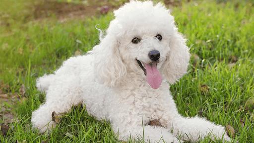 raças-cachorros-pequenos