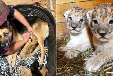 Cadelinha 'adota' filhotes INUSITADOS que foram rejeitados pela própria mãe