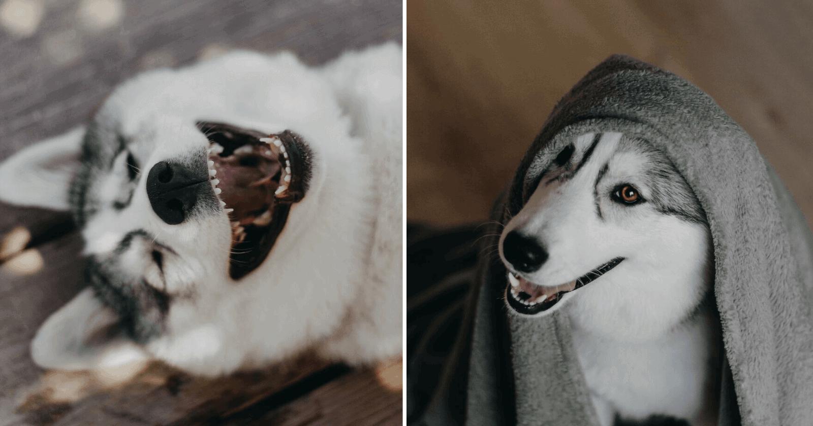 Husky Siberiano que nasceu com óculos é a coisa mais fofa que você verá hoje!