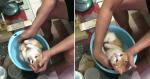Vovô usa gato para ensinar seu filho a dar banho em bebê e reação do felino é a MELHOR!
