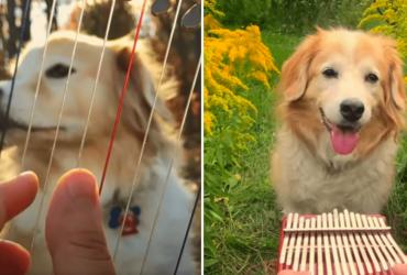 VÍDEOS: Golden Retriever que ouve canções se torna uma das coisas mais fofas da web