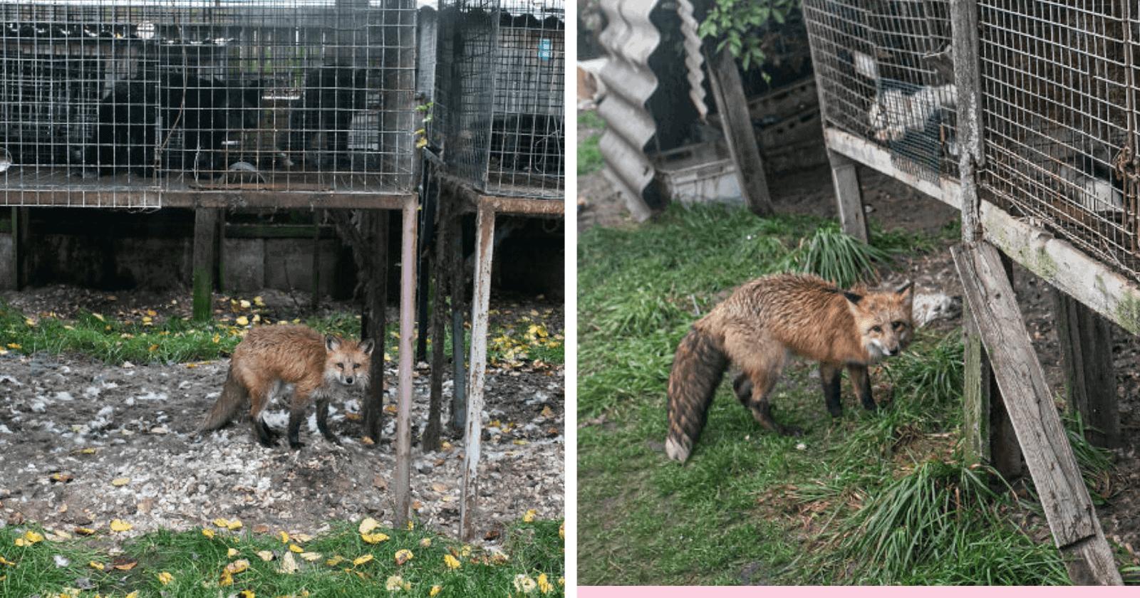 Após ser resgatada de fazenda de peles, mudança em raposa é mesmo de se emocionar!