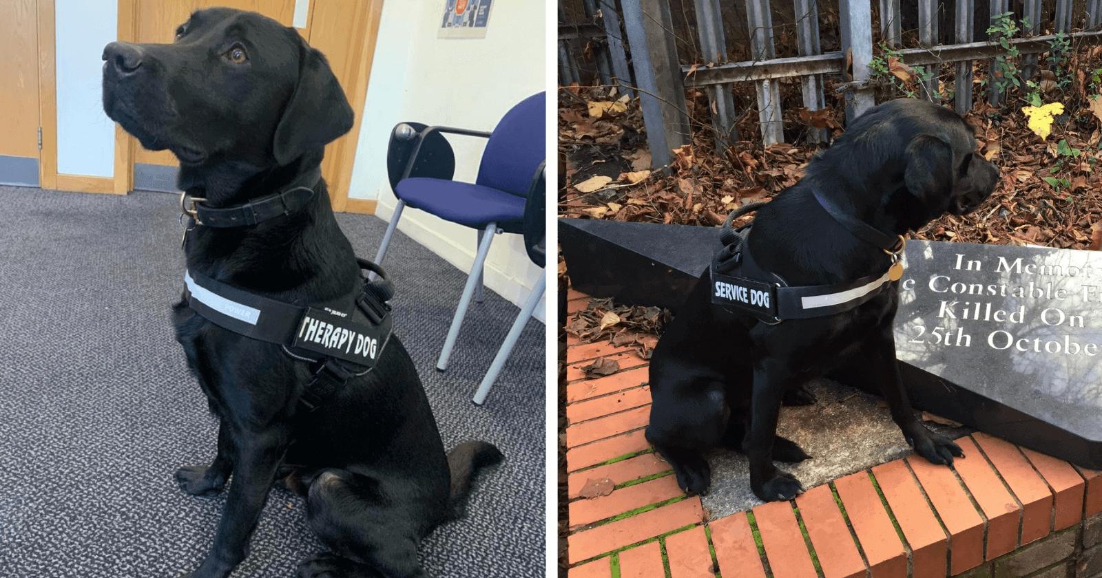 Labrador que trabalhava como cão policial recebe promoção e seu novo cargo emociona