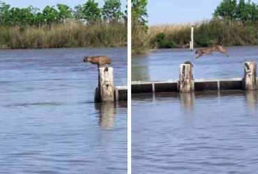 VÍDEO: Pescador flagra lince atravessando rio e equilíbrio do felino CHOCA a web
