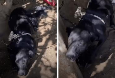Cachorro que vivia preso por correntes é resgatado e sua reação ao ser livre é emocionante!