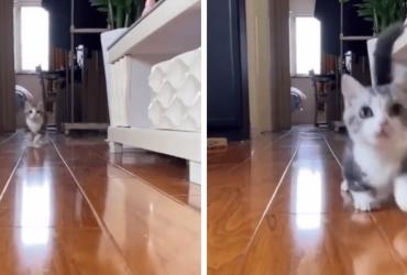 Vídeo de gatinho com as patinhas curtas correndo é a coisa mais fofa que você verá hoje!