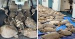 Milhares de tartarugas são abrigadas e salvas por ONGs e pessoas comuns