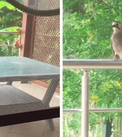 Ao ver uma mulher alimentar gatinhos, corvo aprende a miar para lhe pedir comida
