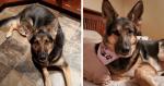 Cadela consegue identificar perigo e salva vida do seu dono após um derrame