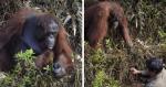 Ao ver homem dentro d'água, orangotango ameaçado de extinção faz algo genuíno e emocionante