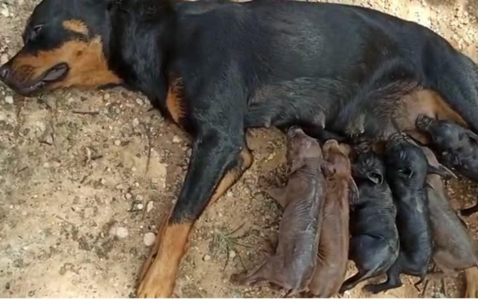 Depois de perder a mãe no parto, oito porquinhos são amamentados por uma...