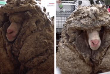 Ovelha é resgatada em situação impressionante com 35 kg de lã e é abrigada por santuário