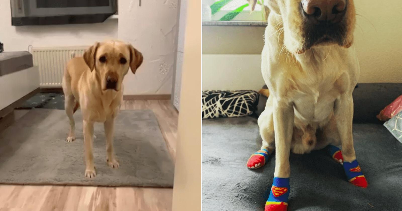 Que fofo! Cachorro aprende a usar meias e insiste em não pisar no chão sem elas