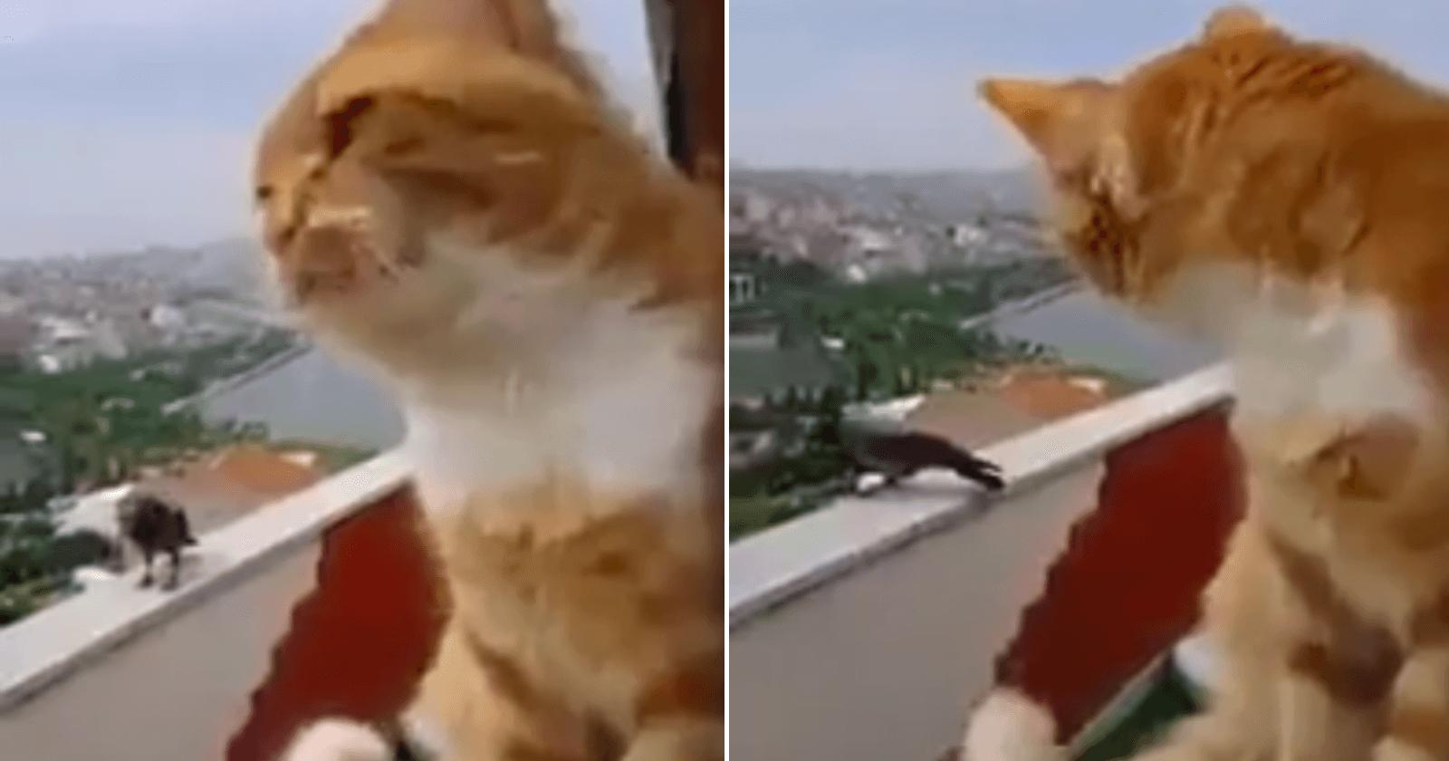 VÍDEO: Gato discute com corvo em varanda e internet se apaixona por conversa