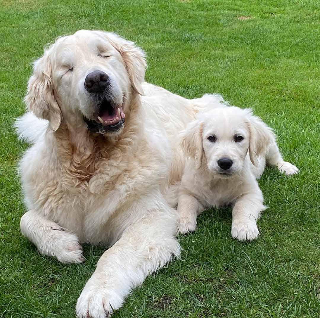 Golden retriever que ficou cego ganha cão-guia e dupla é a coisa mais fofa do mundo!