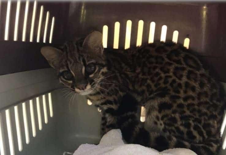 Gato ameaçado de extinção é resgatado após se ferir em incêndio