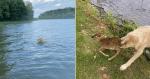 Cachorro resgata filhote de cervo que se afogava em lago