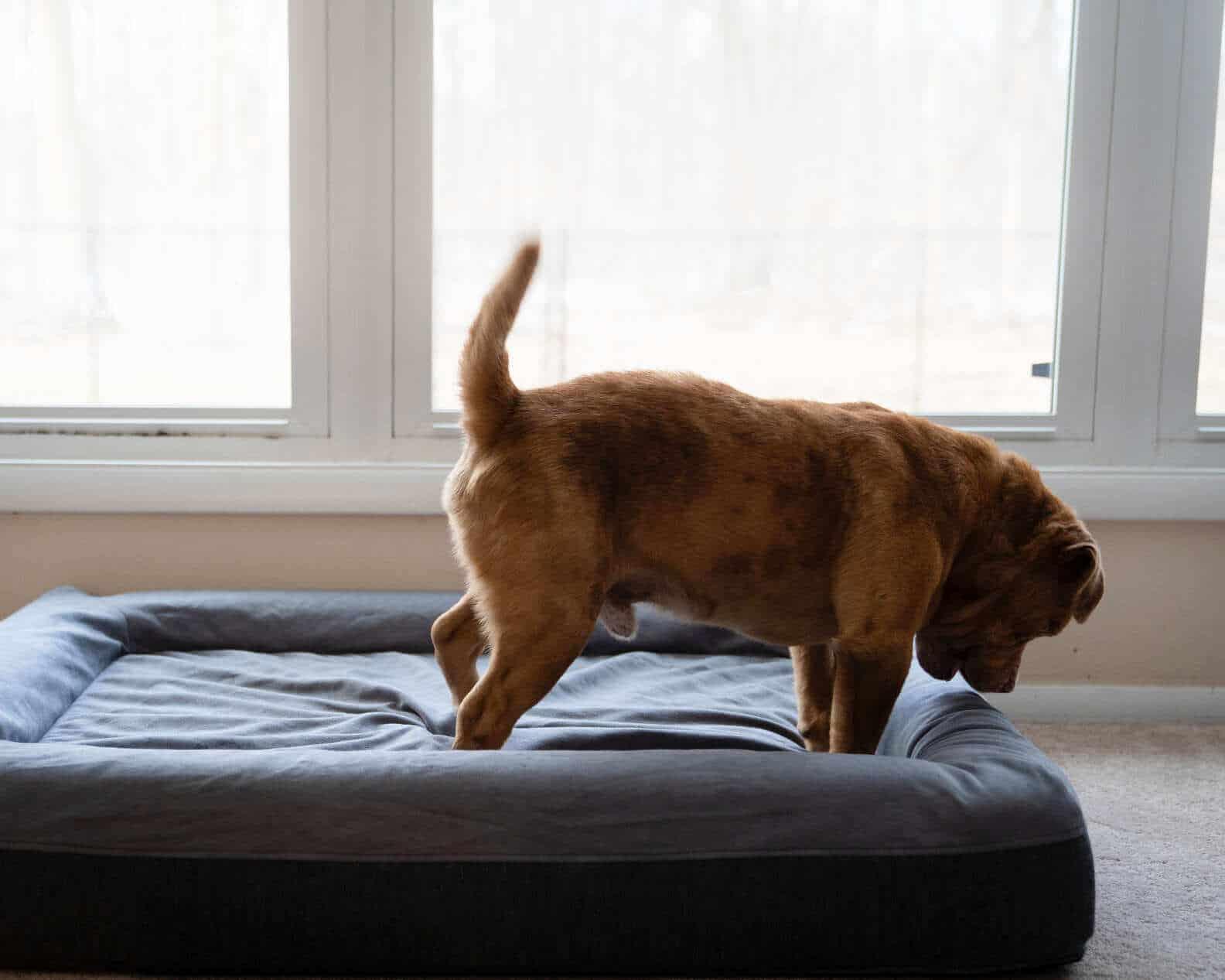 Cachorro resgatado ganha cama e festeja de forma comovente
