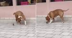 Passarinho cai perto de Pitbull e cachorro tem reação 'mortal'