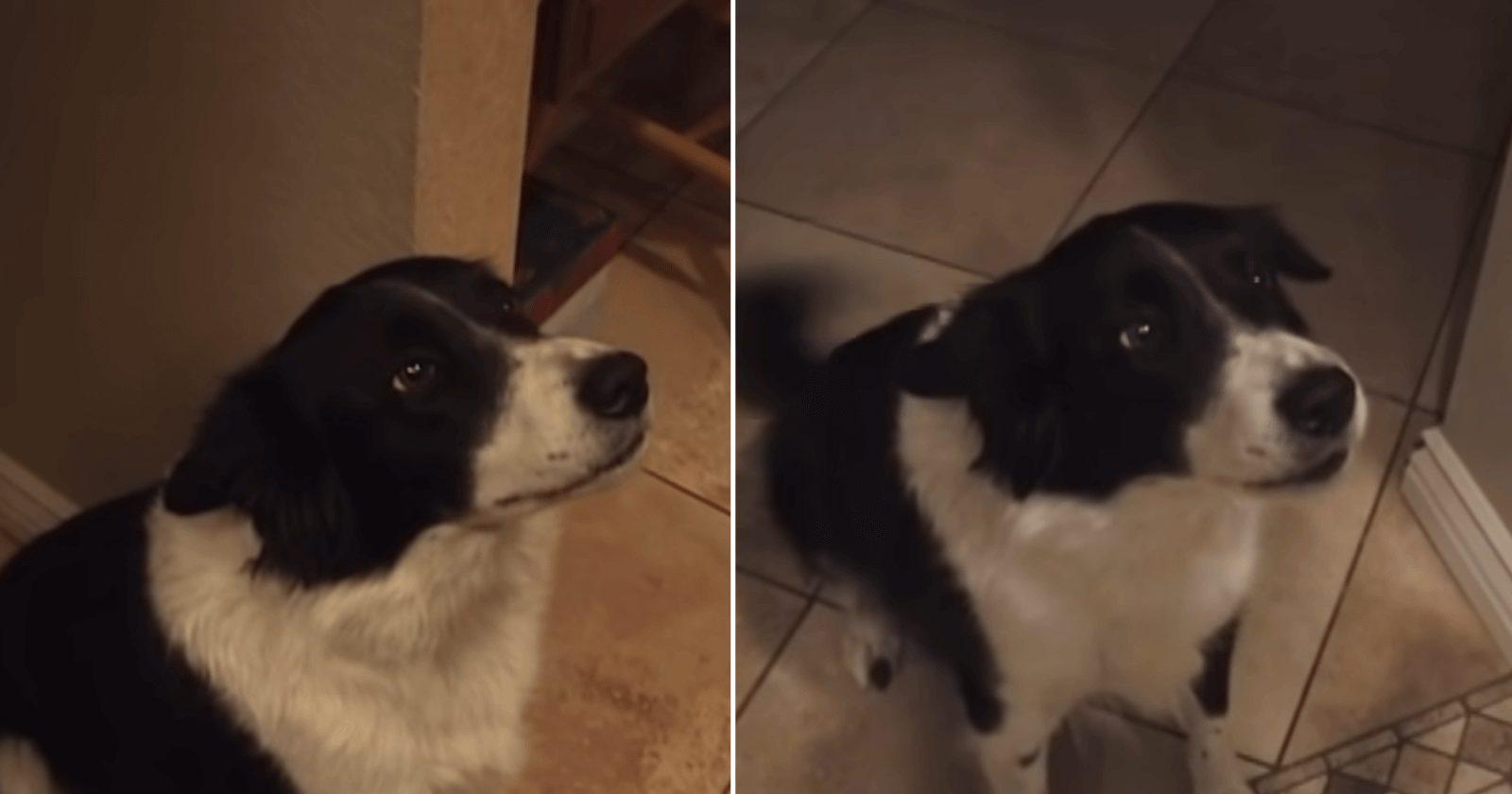 Vídeo de cachorro tentando falar 'olá' é a coisa mais linda!