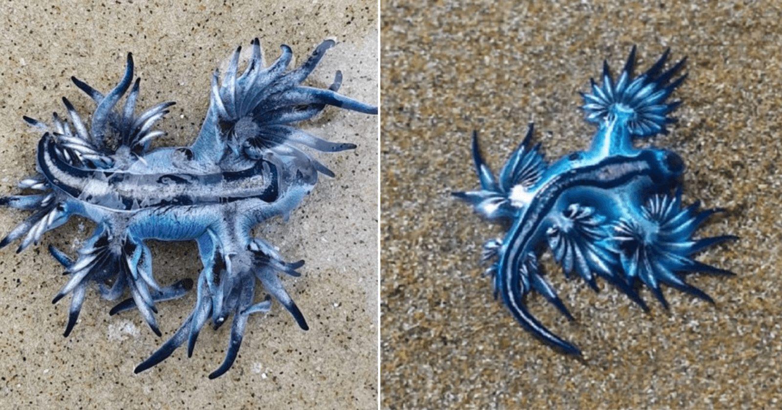 'Dragão azul' se expõe em praia e deixa banhistas encantados